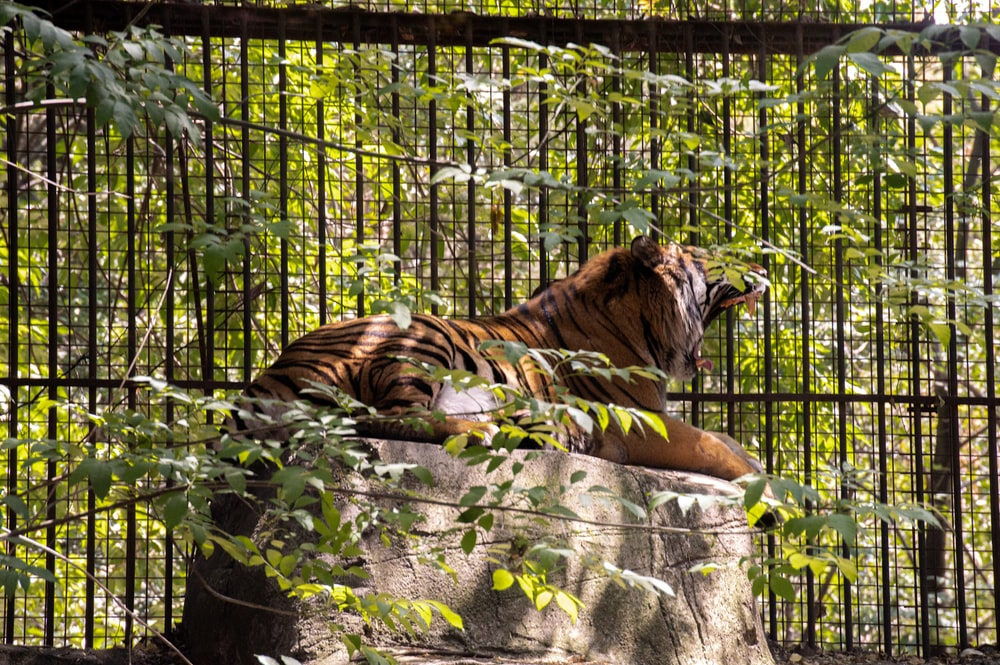 tiger lying on ground beside green plants