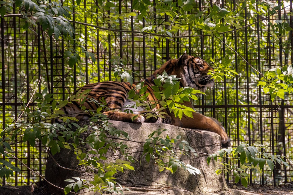 brown and black tiger lying on gray rock
