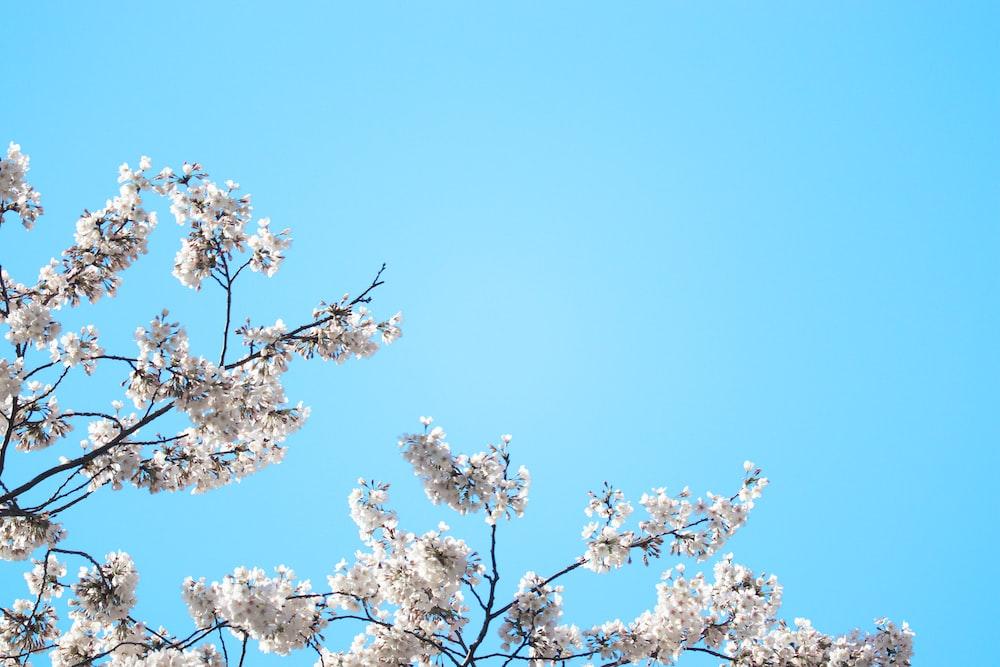 white cherry blossom under blue sky during daytime