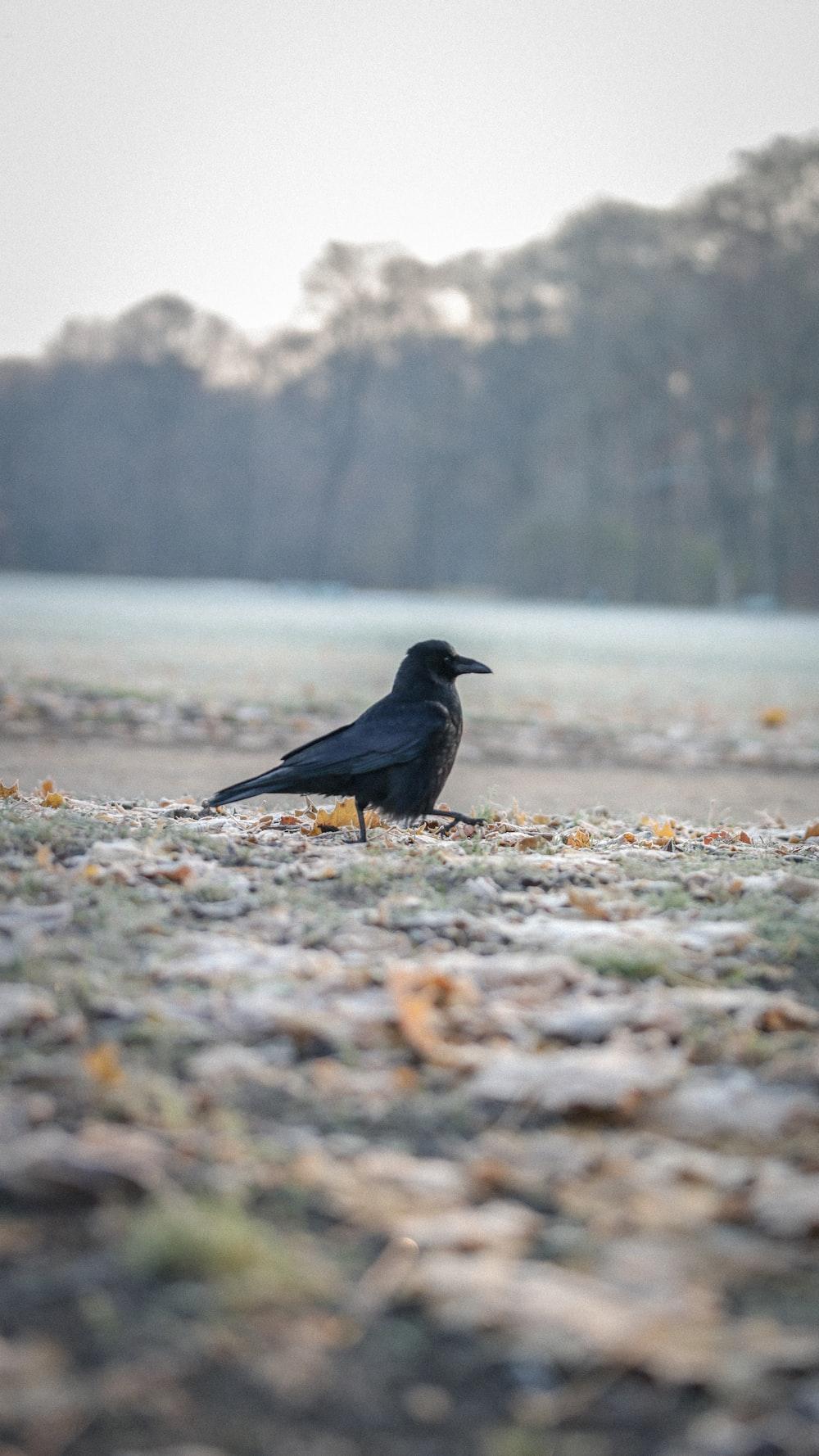 black bird on brown grass during daytime