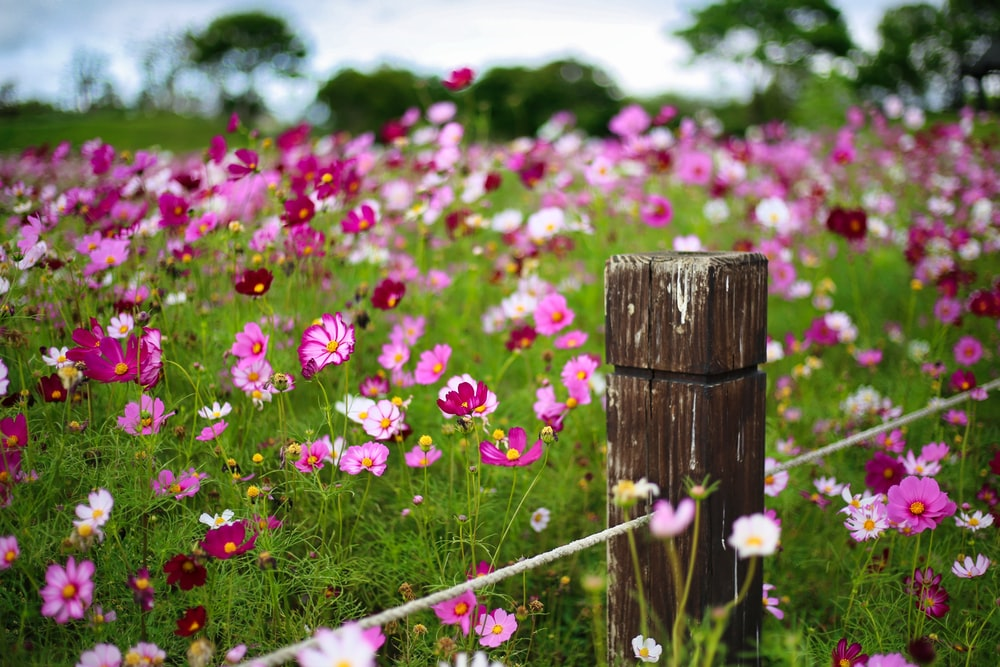 pink flowers on brown wooden fence