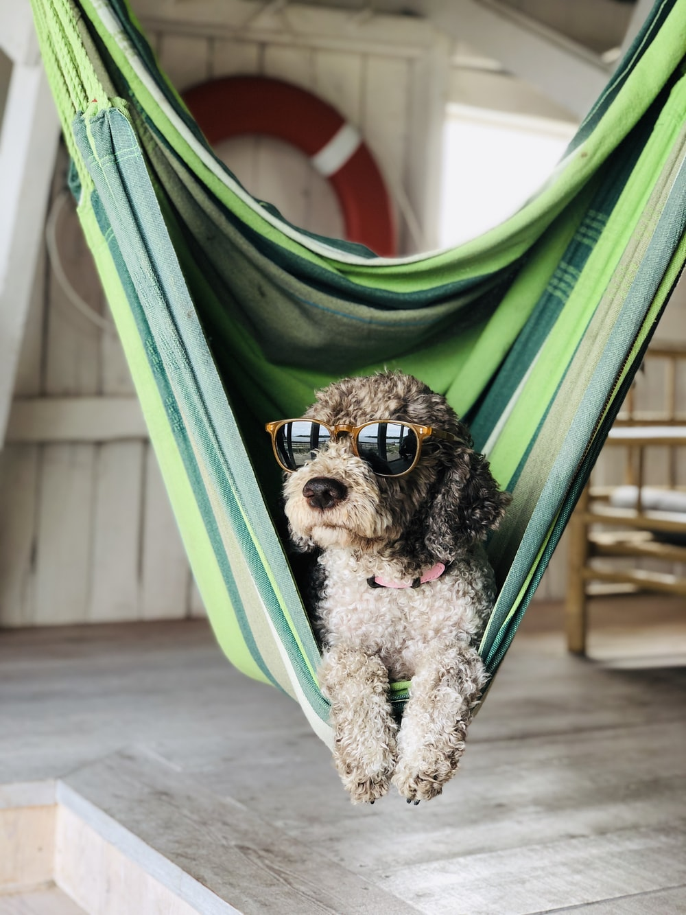 brown and black poodle puppy on green hammock