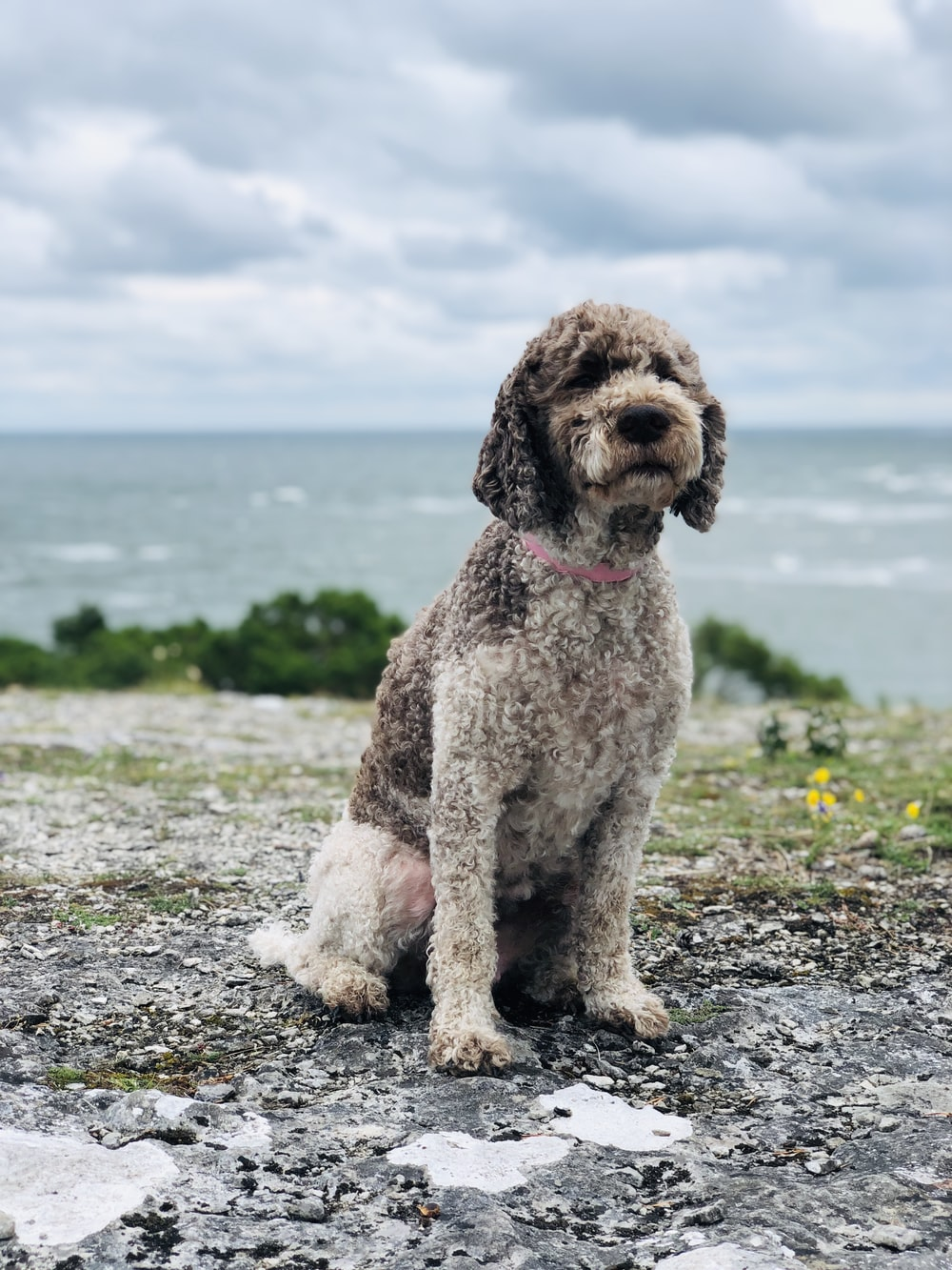 brown and white poodle on the beach