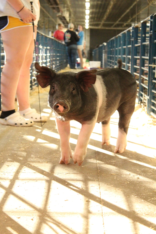 black pig on white concrete floor
