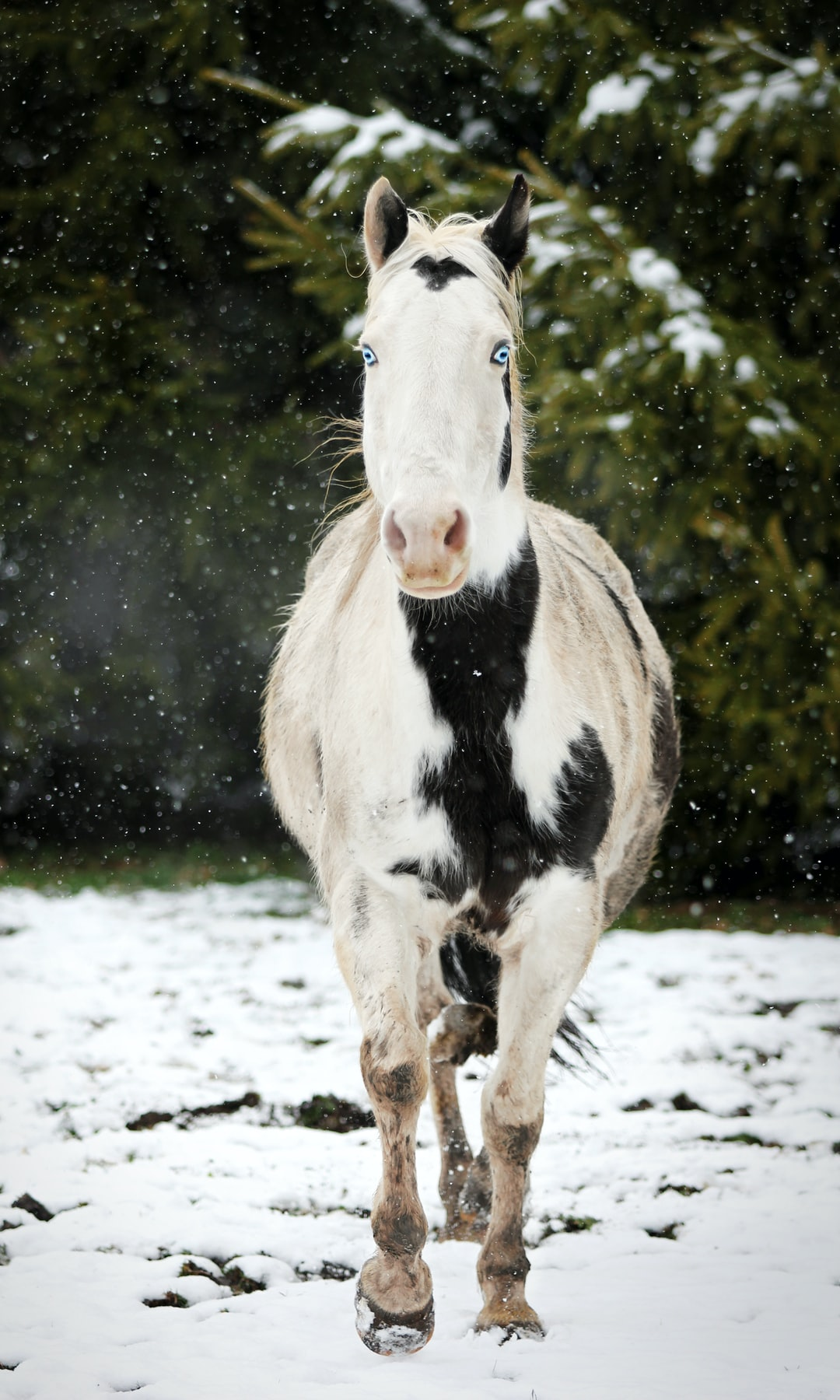 A black and white paint horse with blue eyes breathes cold air in the winter.
