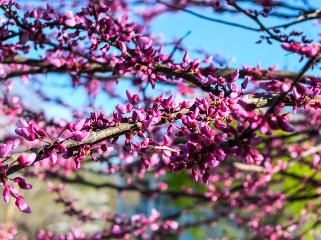Purple Flowers bloom in a tree during early spring in Woodbridge VA, with green trees and a blue sky in the background.