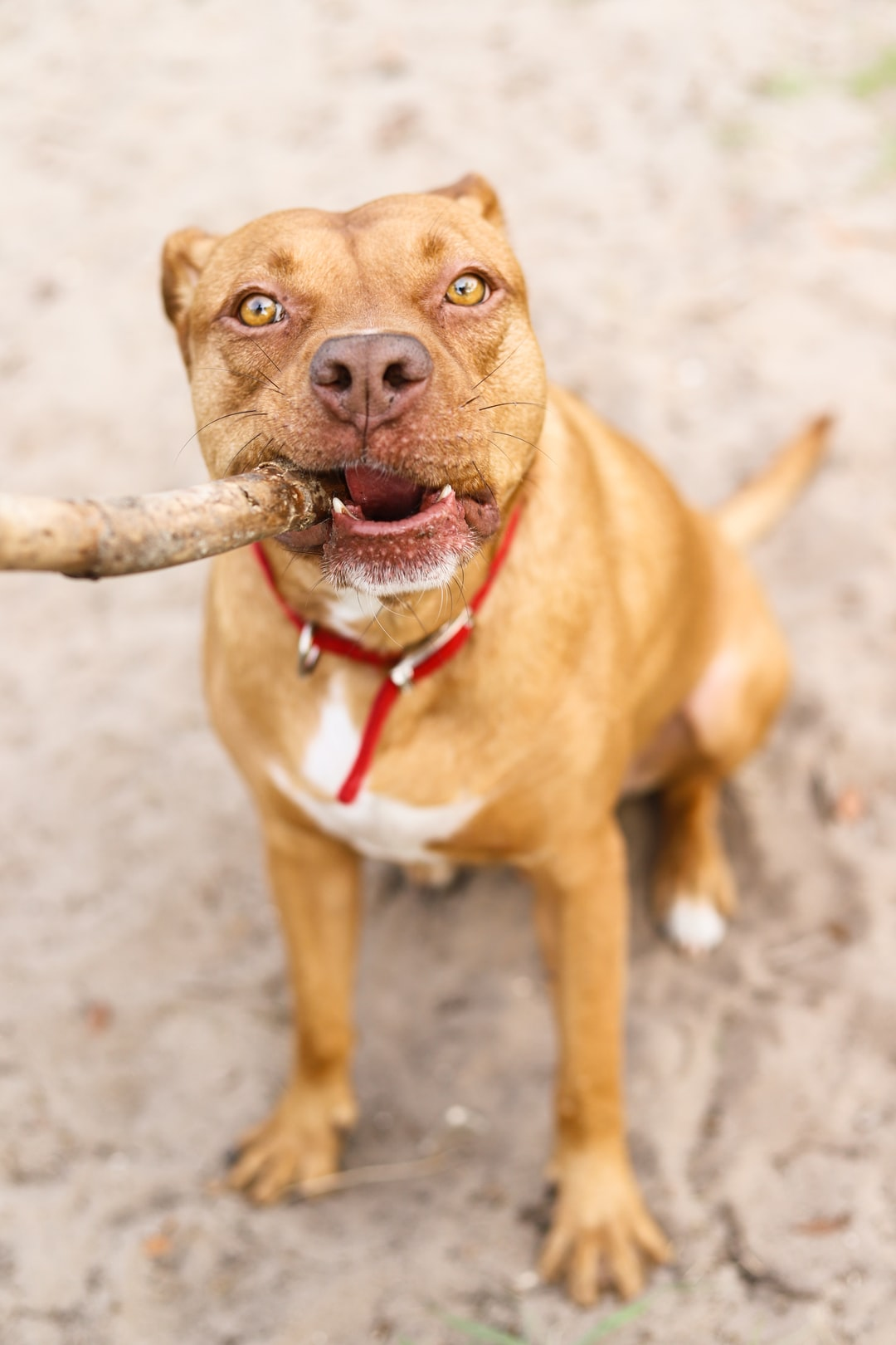 Red Nose Pitbull: 5 Facts To Know Before Buying