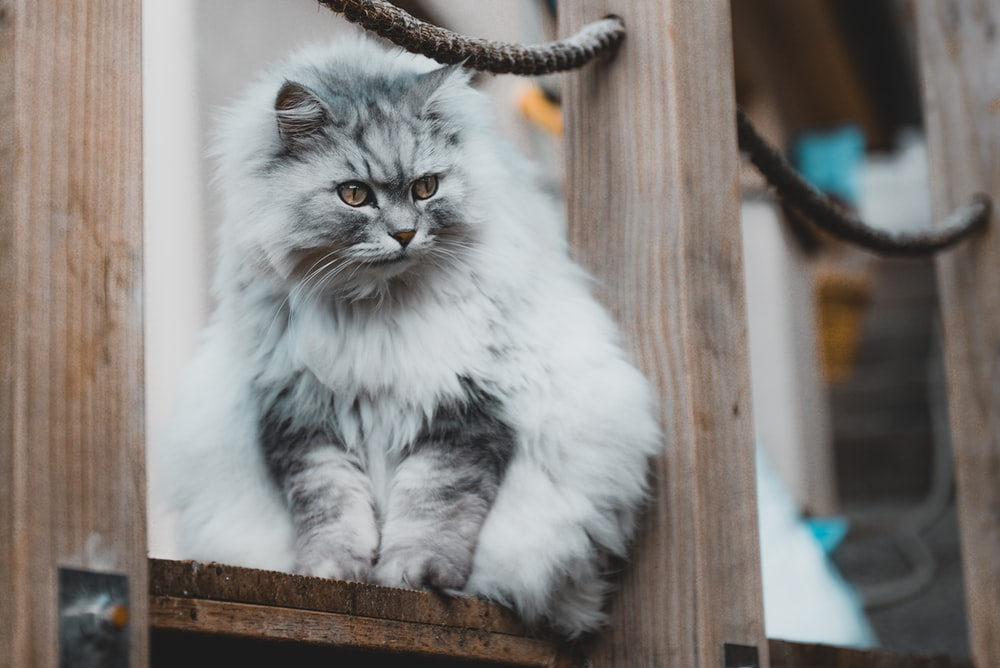 white and gray long fur cat on brown wooden fence
