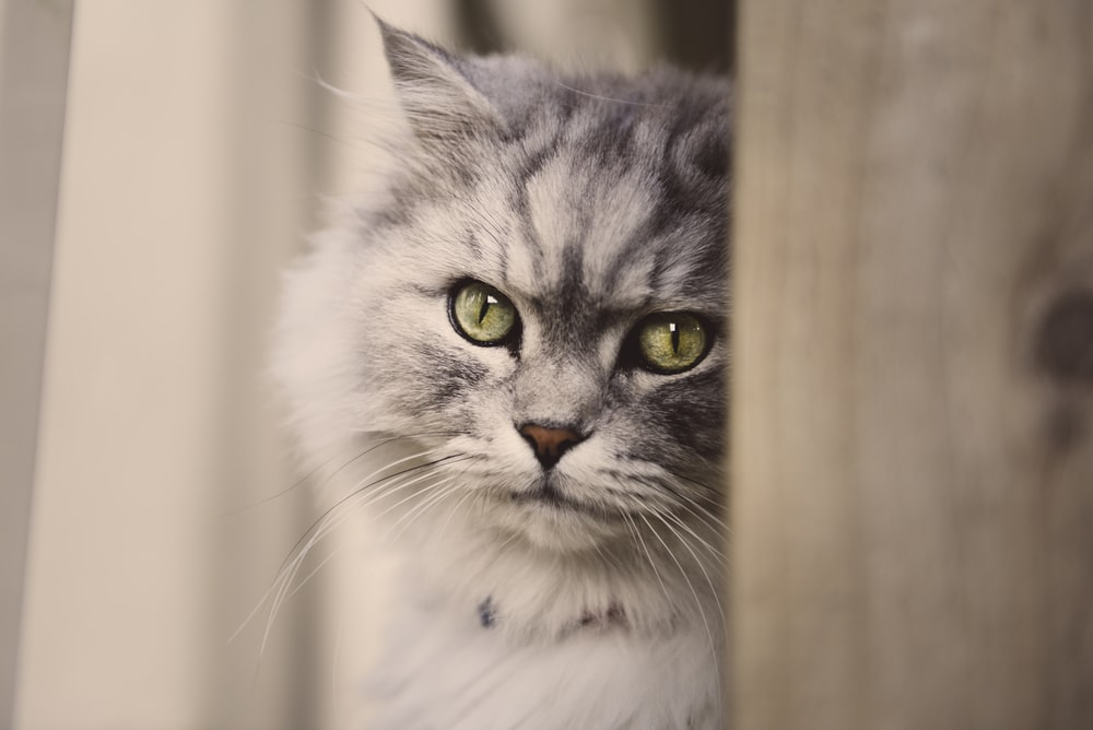 grey and white cat in close up photography