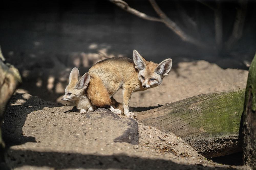 brown fox on brown soil during daytime