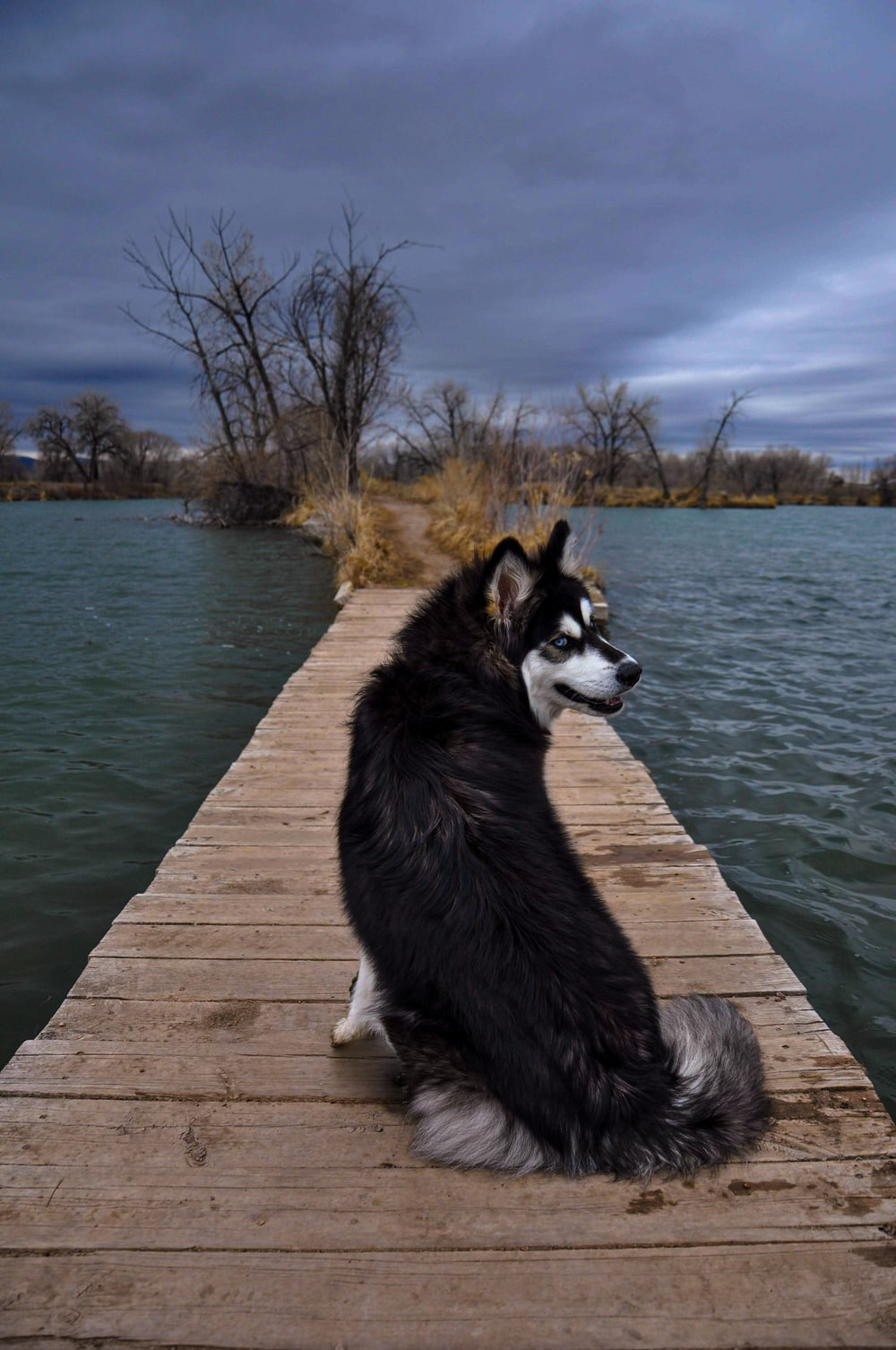 black and white siberian husky on brown wooden dock during daytime
