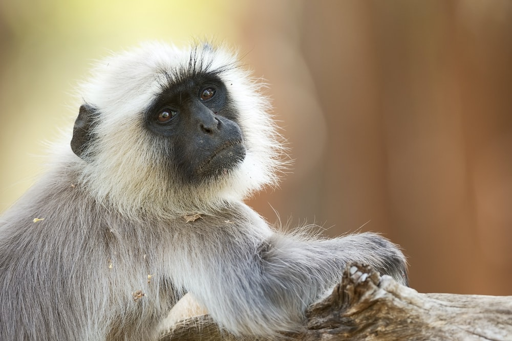 gray and white monkey sitting on brown wooden surface during daytime
