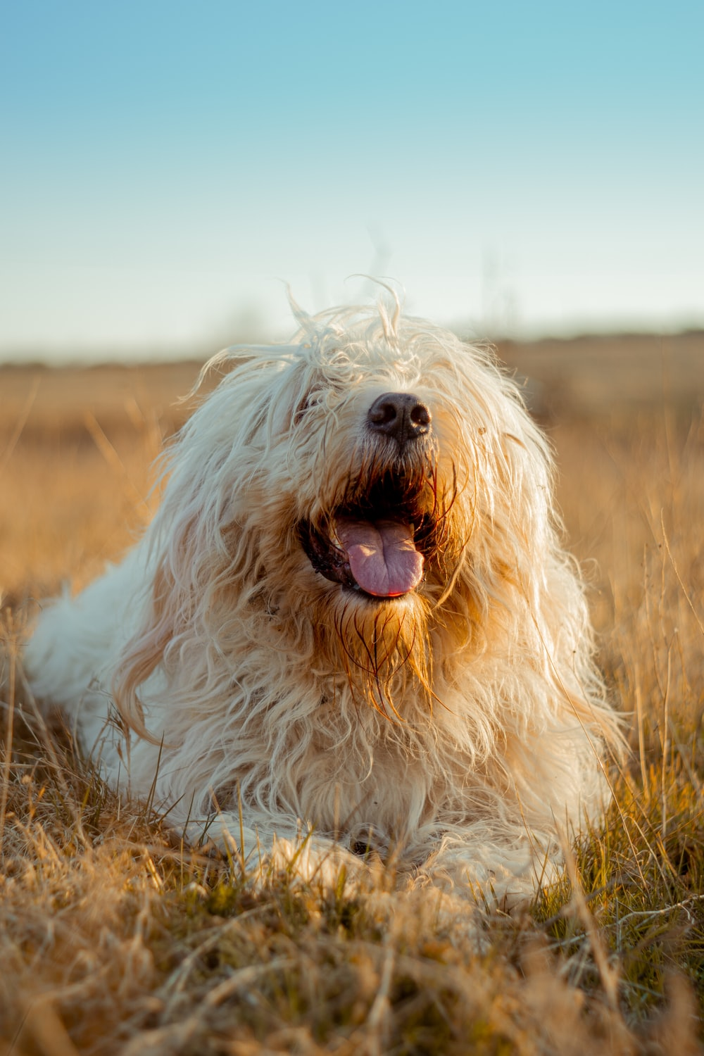 white long coated dog on brown grass field during daytime