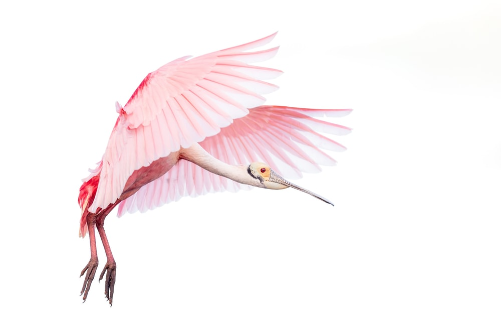 pink and white bird with white background