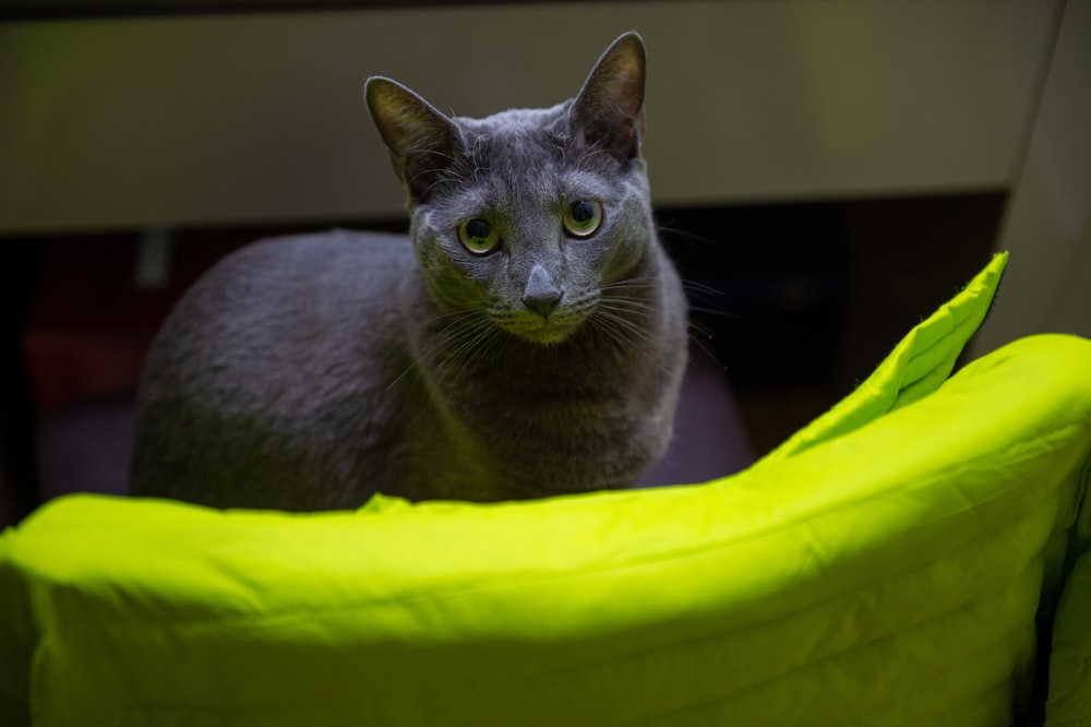 russian blue cat on yellow textile