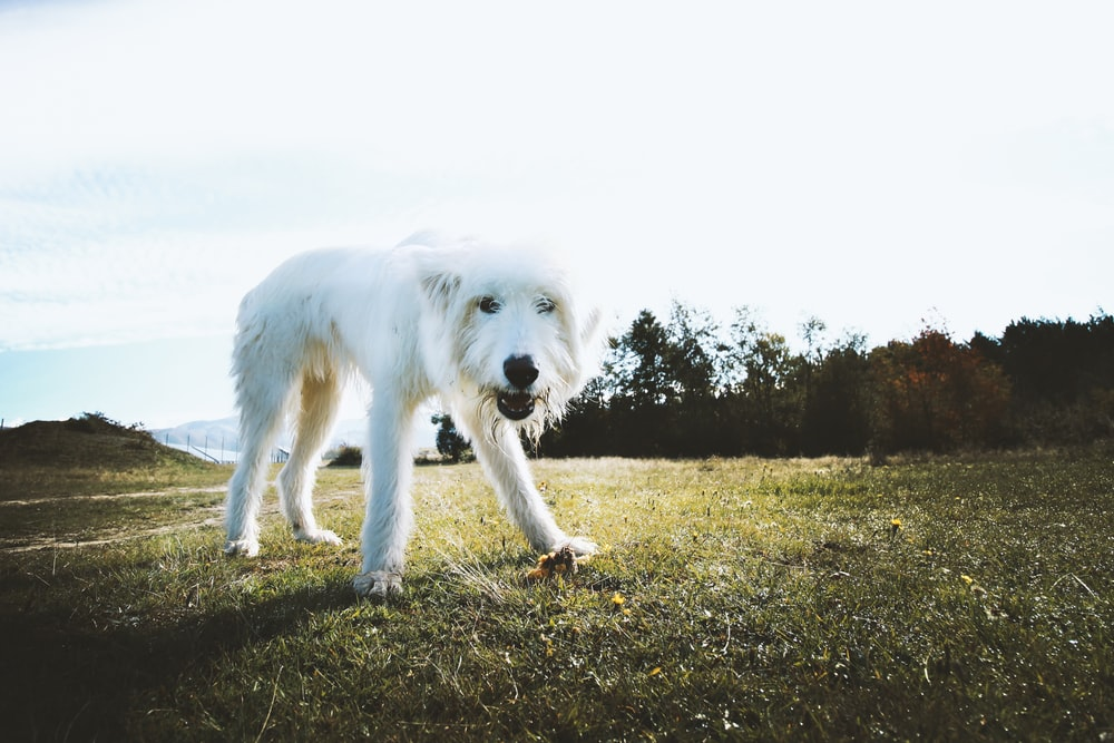 white long coated dog on green grass field during daytime