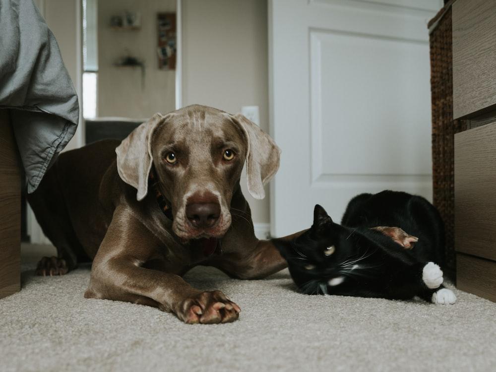 gray short coated dog lying on floor