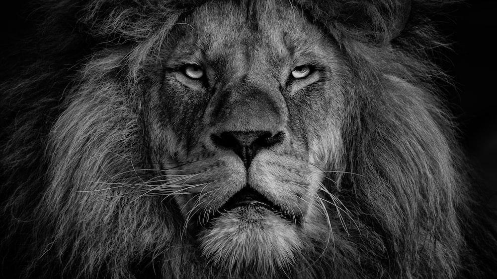 ライオンの顔のグレースケール写真