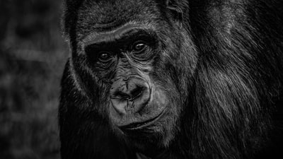black gorilla in close up photography ape teams background