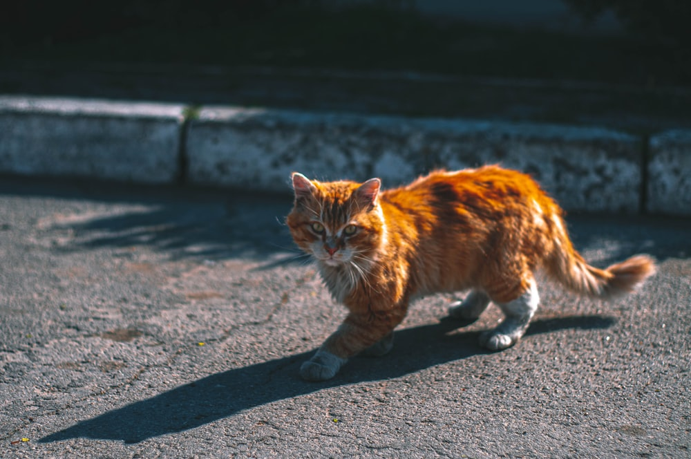 orange tabby cat walking on gray concrete road during daytime