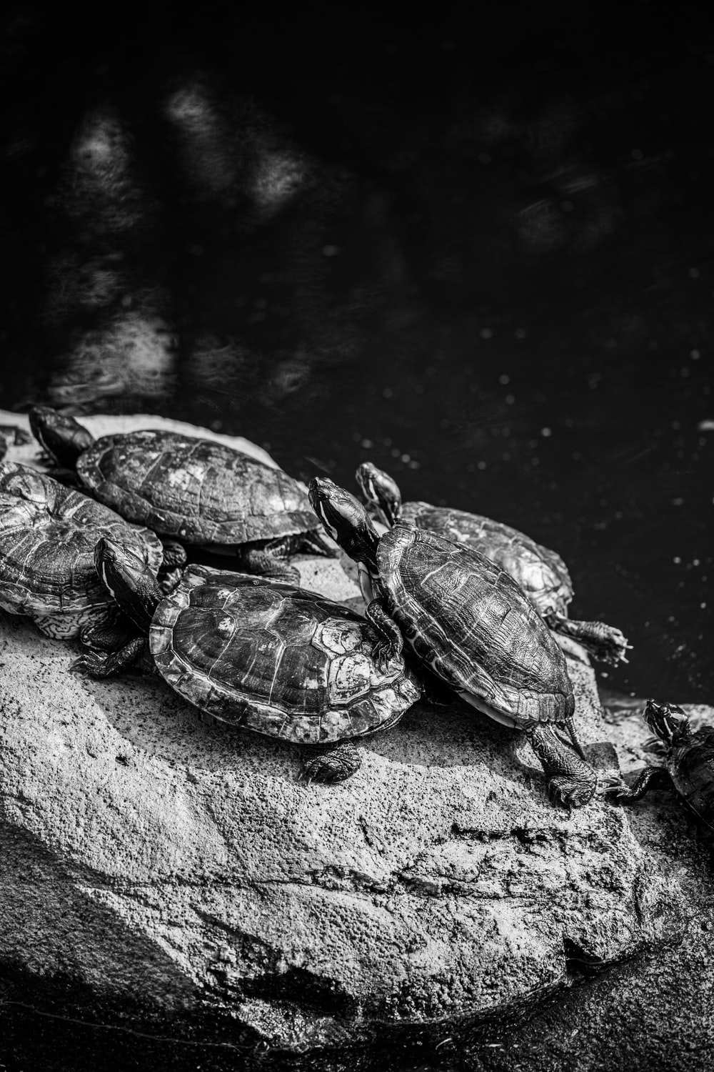 turtle on water in grayscale photography