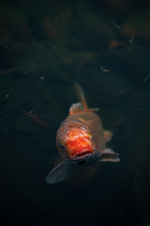 orange and white fish on water