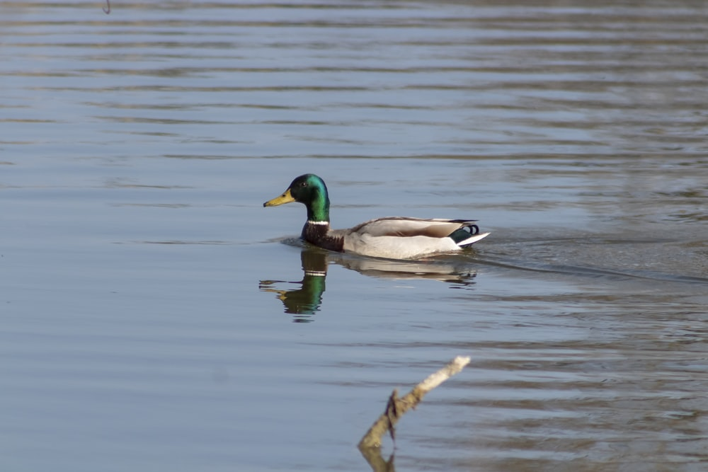 mallard duck on water during daytime