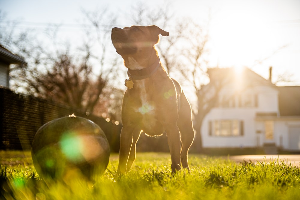 brown and white short coated dog running on green grass field during daytime