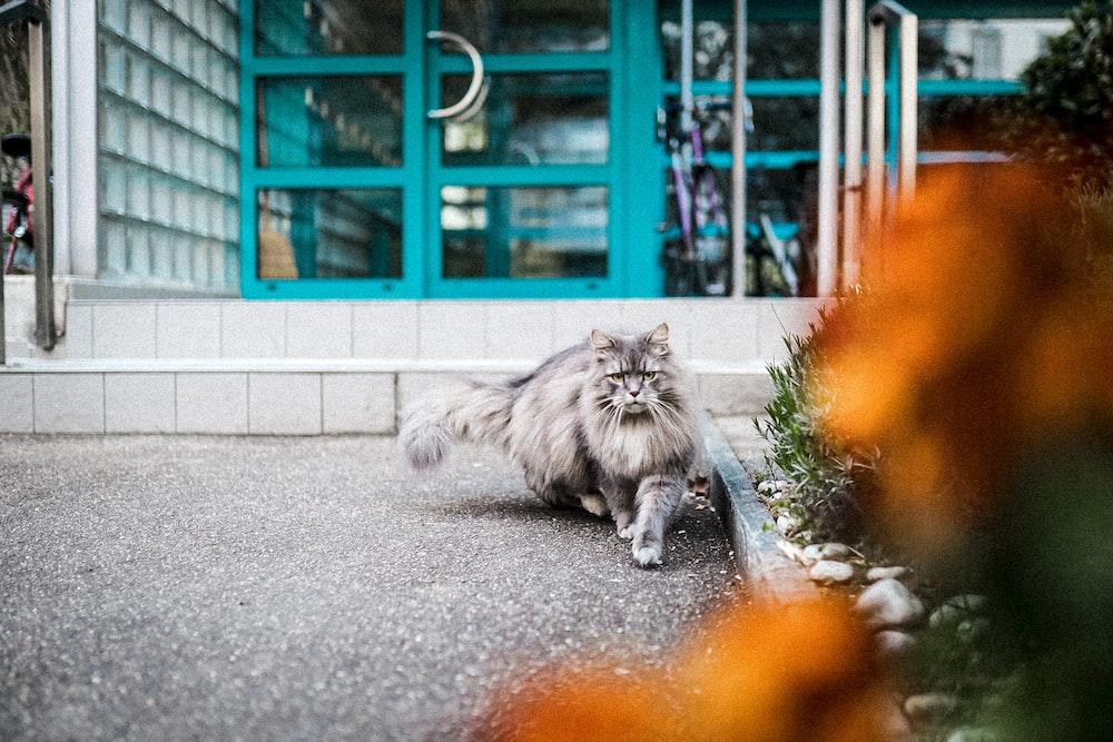 grey long fur cat on grey concrete floor