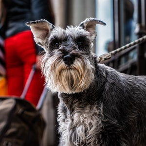 black and brown miniature schnauzer