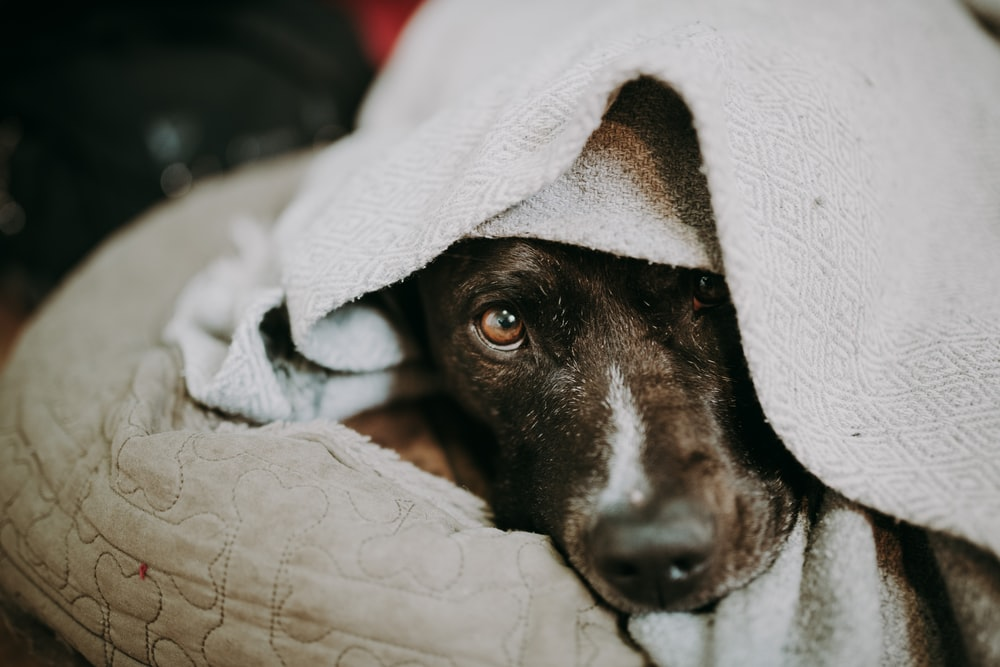 black and white short coated dog covered with white blanket