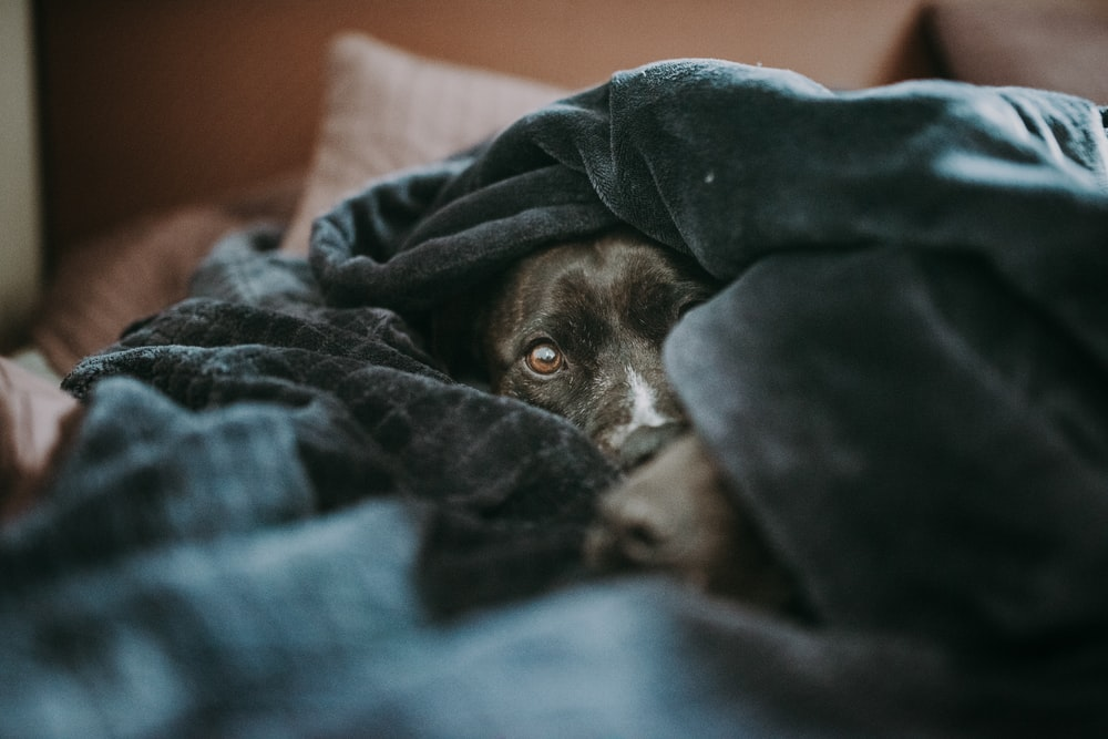 brown short coated dog covered with blue blanket