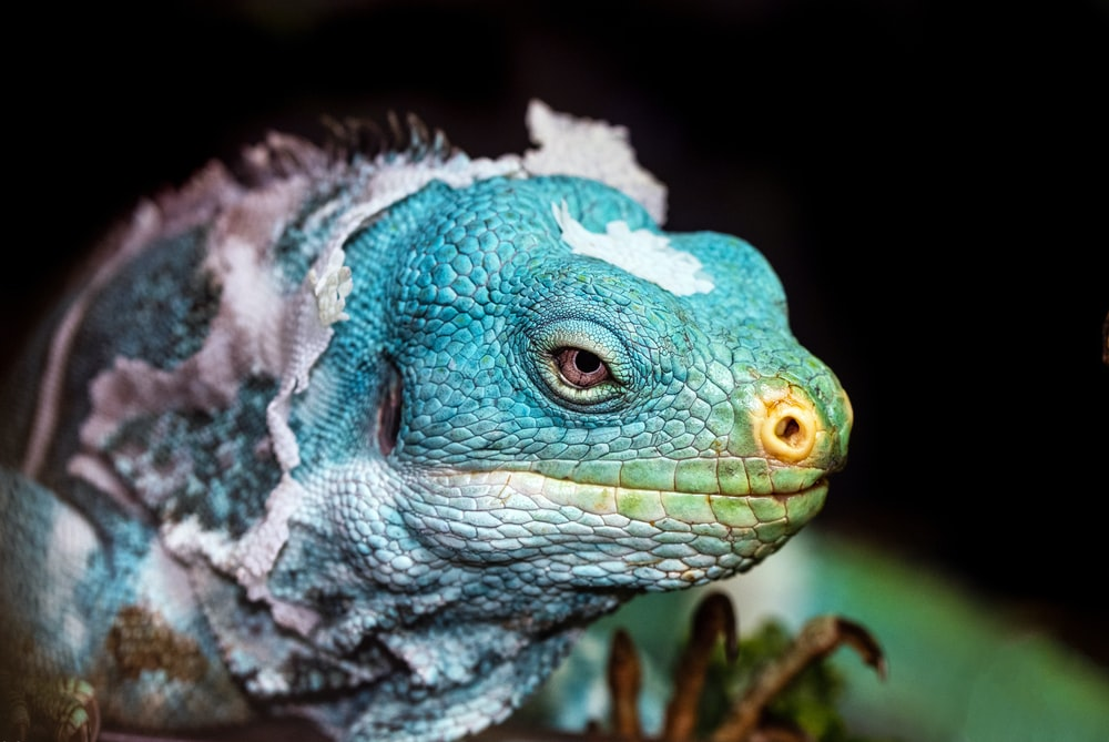 blue and green bearded dragon