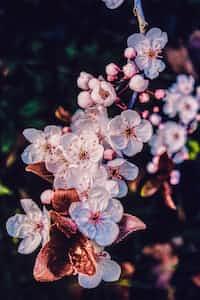 Cherry Blossoms       A septolet by @silveroak septolet stories