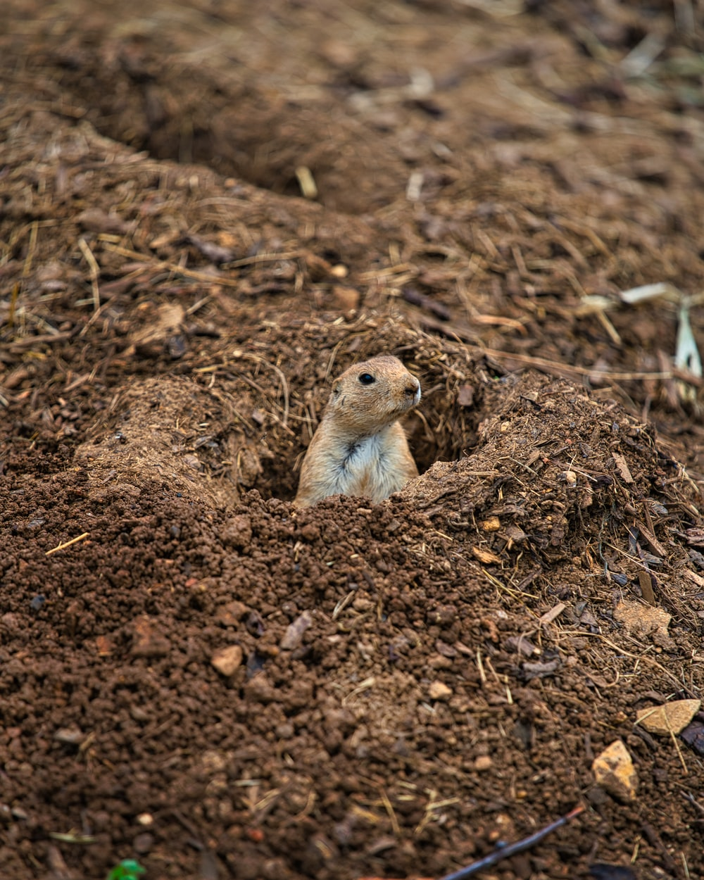 brown rodent on brown soil during daytime