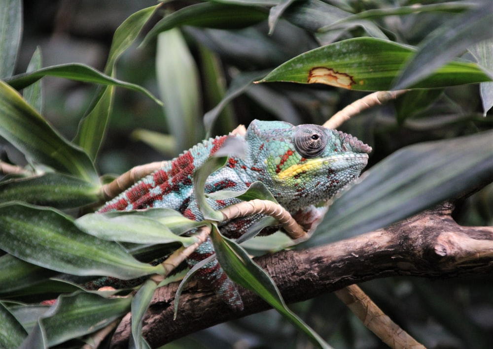 green and red chameleon on green leaves