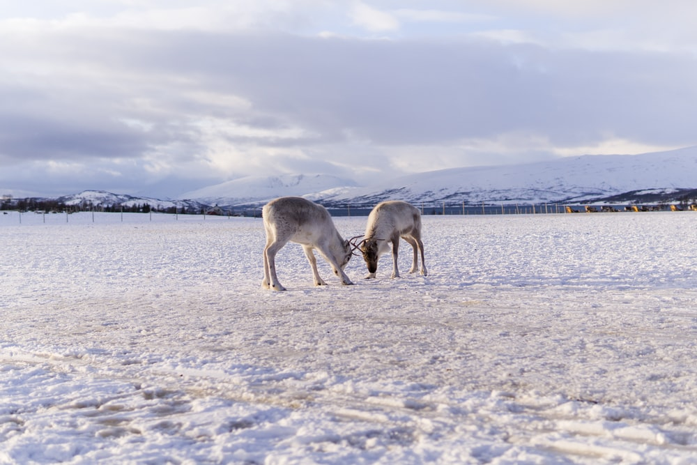 two brown horses on snow covered ground during daytime