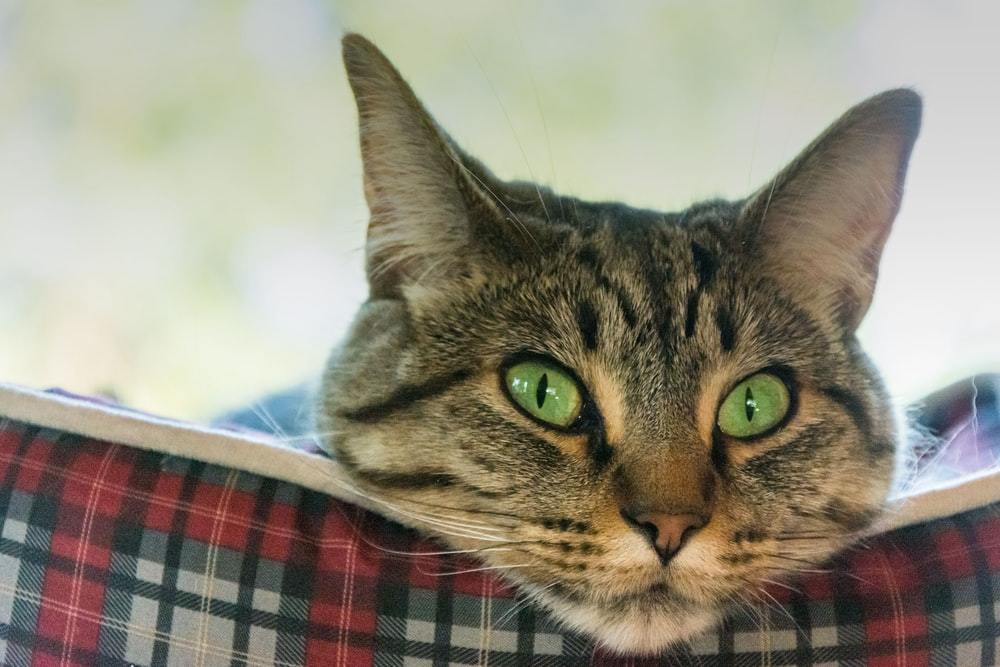 brown tabby cat on blue and red plaid textile