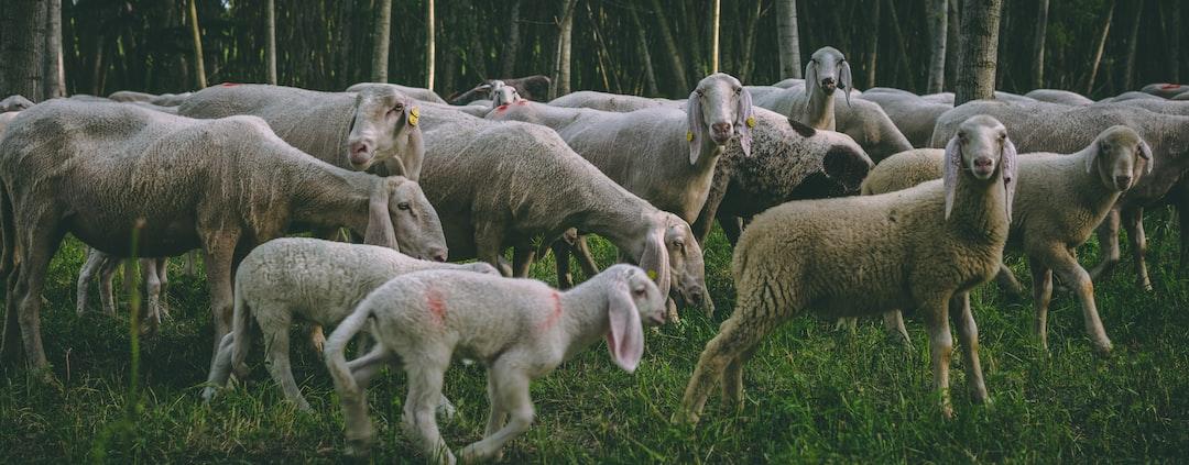 River of sheeps. Aww :3