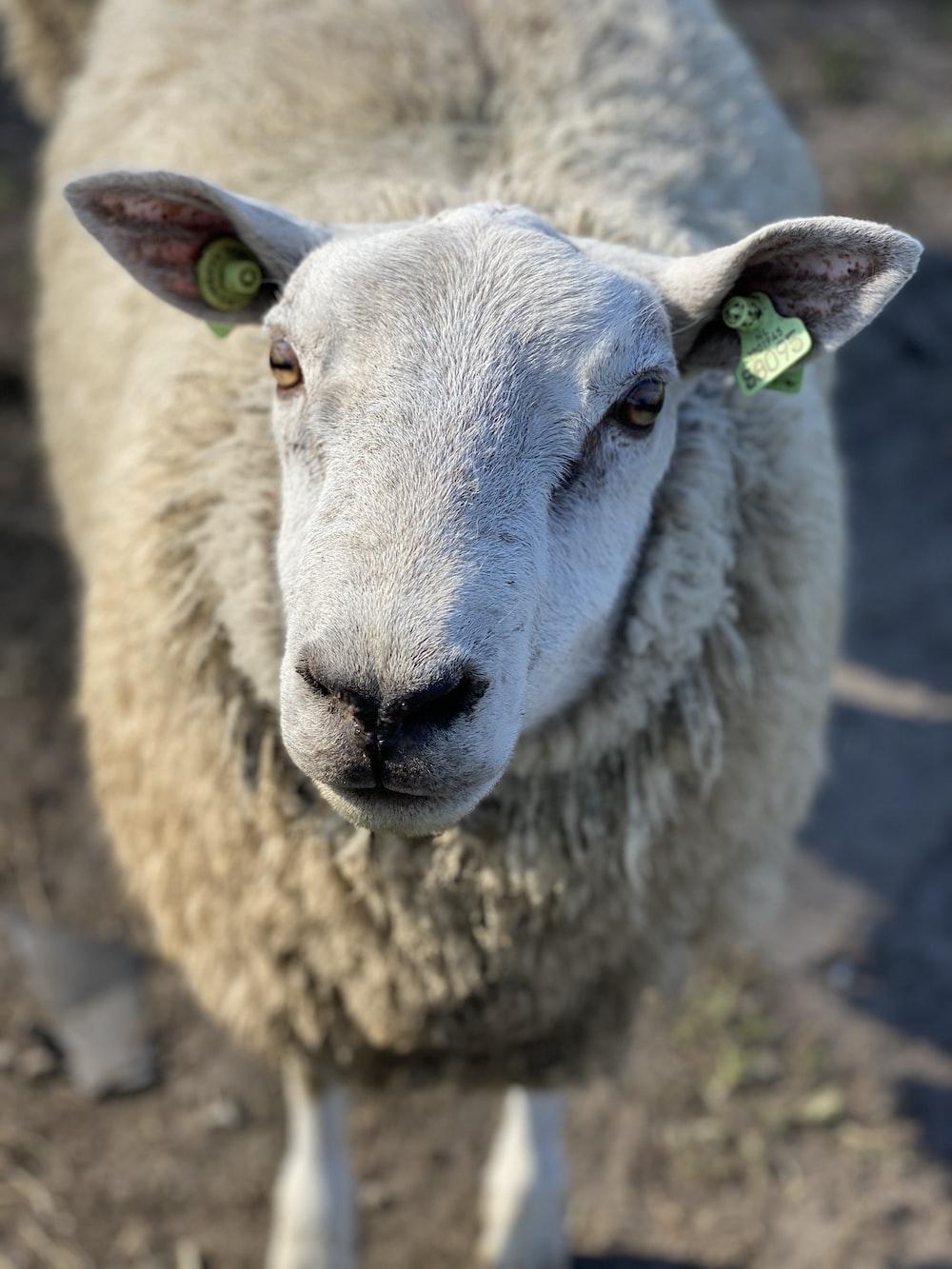 white sheep on brown dirt during daytime