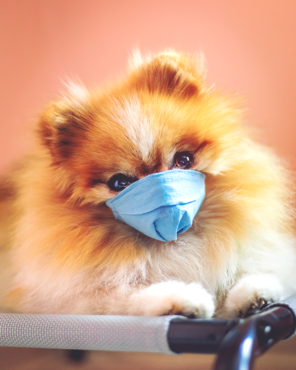brown pomeranian puppy wearing blue goggles
