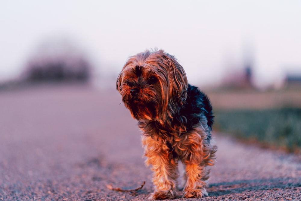 black and brown yorkshire terrier puppy on brown sand during daytime