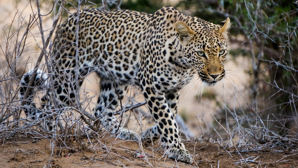 black and white leopard on brown grass during daytime