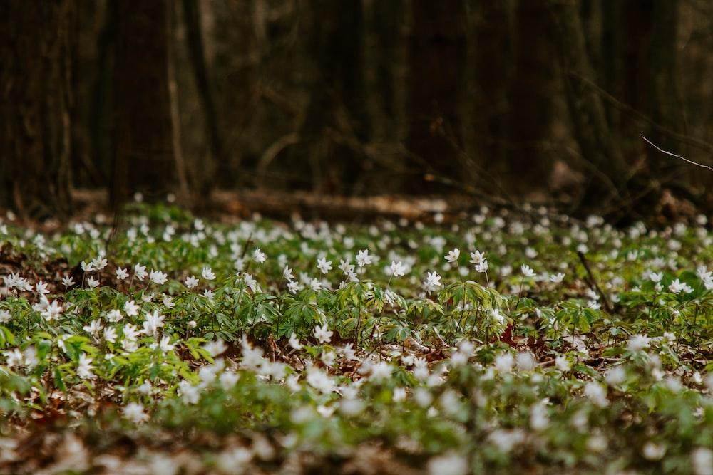 white flowers on green grass field