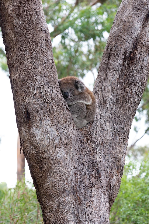 brown koala on brown tree during daytime