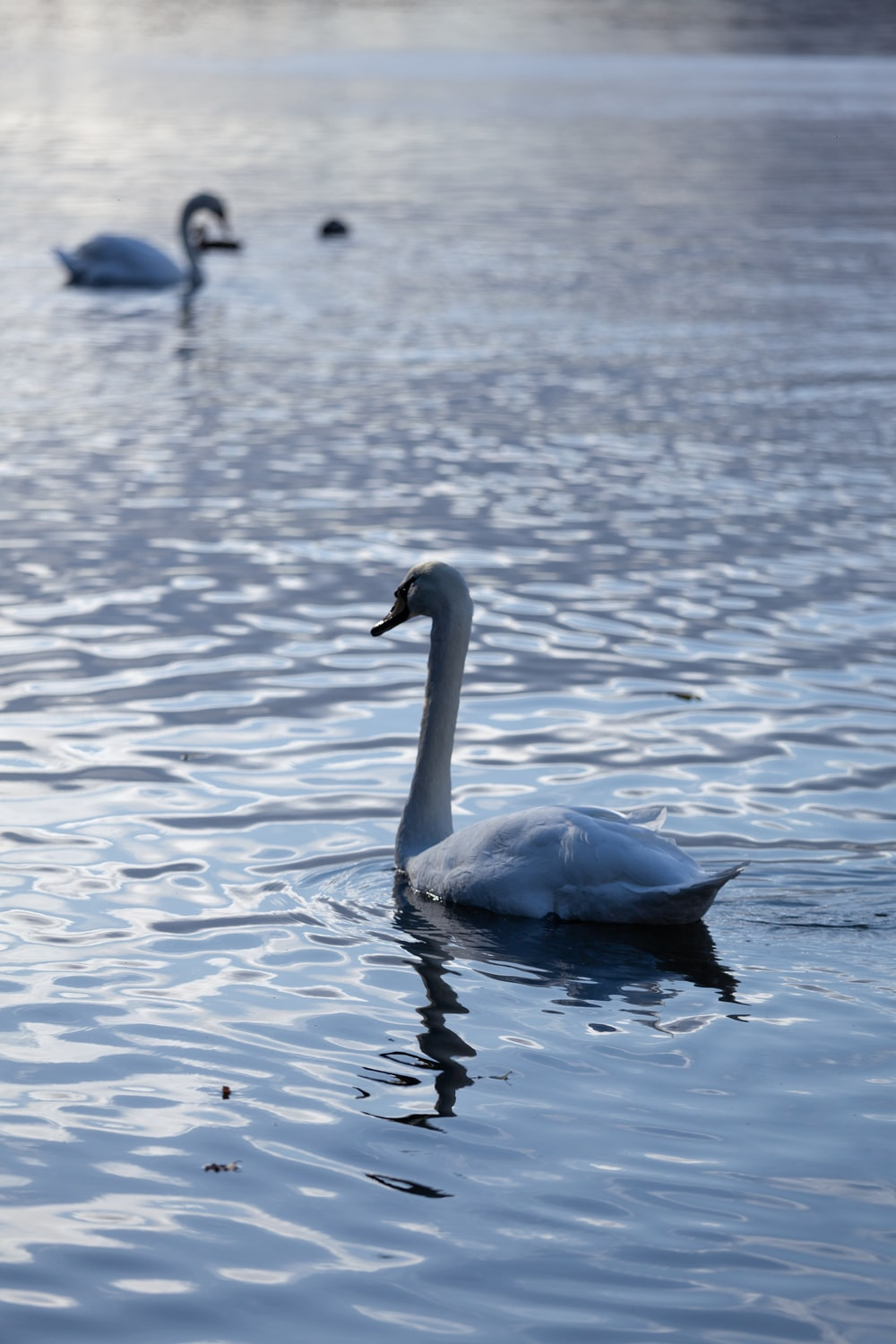 white swan on water during daytime