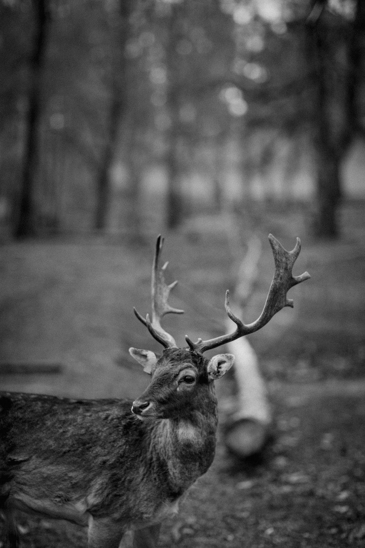 grayscale photo of deer on field