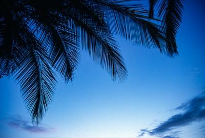 palm tree under blue sky during daytime palm sunday zoom background