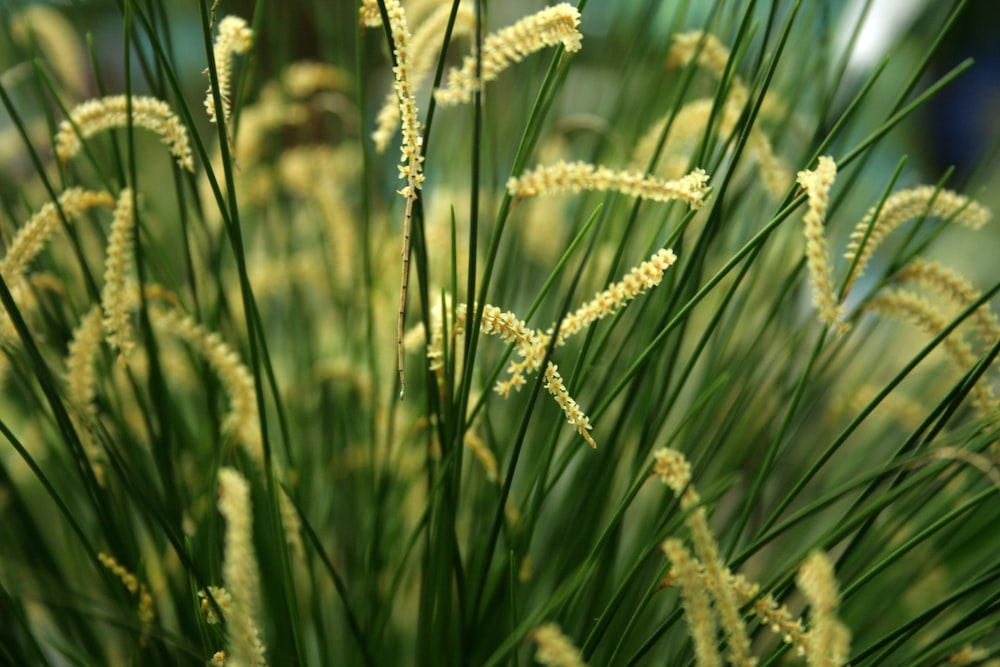 white wheat in close up photography