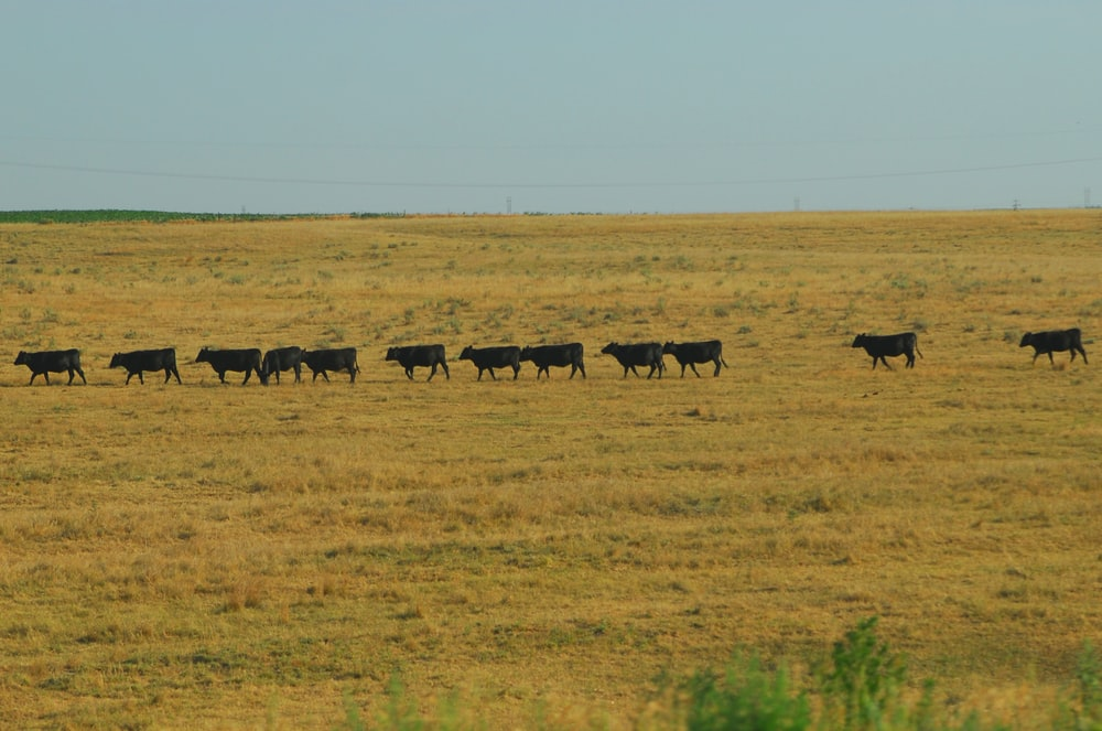herd of sheep on brown grass field during daytime